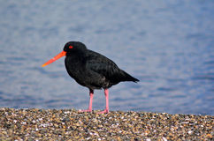 Oystercatcher. Looks for food on the beach stock photography