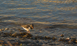 Oystercatcher in the morning sun Royalty Free Stock Photo