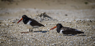 Oystercatcher Pair Stock Photo
