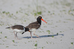 Oystercatcher parent and older chick Stock Photo