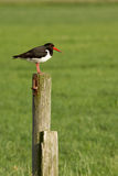 An oystercatcher on a pole. In Holland Stock Photos