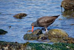 Oystercatcher probes the rocks with its bright red beak, looking for limpets in the shallows. Of Clover Point, southern Vancouver Island, British Columbia stock image