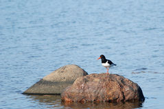 Oystercatcher on a rock Stock Photo