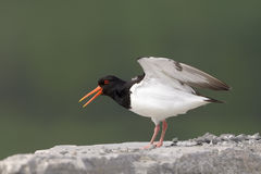 Oystercatcher Royalty Free Stock Image