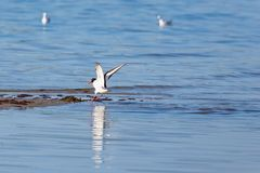 Oystercatcher spread wings Stock Image