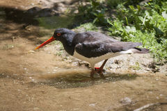 Oystercatcher standing in water Stock Image
