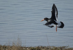 Oystercatcher. Taken at Pitsford Water in the early hours of the afternoon Royalty Free Stock Photo