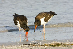 Oystercatcher teaching her chick. A American Oystercatcher teaching  her chick to feed itself in the surf Royalty Free Stock Photography