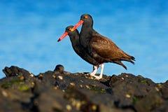 Oystercatcher Teo Blakish, ater Haematopus, с устрицей в счете, черная птица воды с красным счетом Продукт моря птицы подавая, в Стоковое Изображение RF