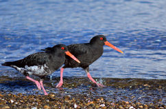 Oystercatcher. Two Oystercatcher looks for food on the beach royalty free stock images