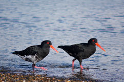 Oystercatcher. Two Oystercatcher looks for food on the beach stock photos