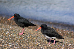 Oystercatcher. Two Oystercatcher looks for food on the beach royalty free stock image