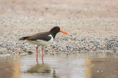 Oystercatcher wading in the water Stock Photos