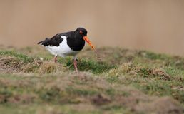 Oystercatcher With Worm royalty free stock photos