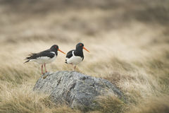 oystercatchers Obraz Royalty Free