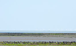 Oystercatchers Royalty Free Stock Photography