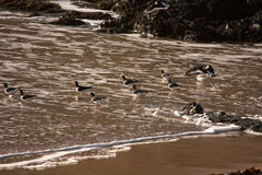 Oystercatchers Stock Image