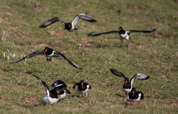 Oystercatchers Stock Photography