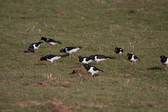 Oystercatchers Stock Images