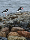 Oystercatchers fotografia stock