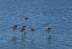Oystercatchers Obrazy Royalty Free