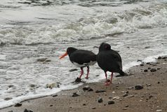 Oystercatchers on beach Stock Image