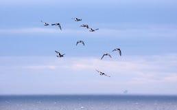 Oystercatchers che volano, Caithness, Scozia del nord Fotografia Stock Libera da Diritti