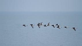 Free Oystercatchers Flying Stock Photo - 22670740