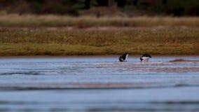 Oystercatchers, Haematopodidae watuje i chodzi na piasków bankach ujście podczas niskiego przypływu w jesieni, zbiory wideo