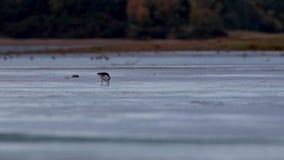 Oystercatchers, Haematopodidae watuje i chodzi na piasków bankach ujście podczas niskiego przypływu w jesieni, zbiory