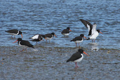 Oystercatchers (Haematopus ostralegus). Group of oystercatchers (Haematopus ostralegus) on a tidal estuary. Shallow DoF Royalty Free Stock Images