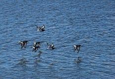 Oystercatchers. (Haematopus ostralegus) flying at Snettisham,Norfolk,UK Royalty Free Stock Images