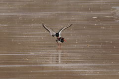 Oystercatchers (Haematopus ostralegus) Mating. This image captures a pair of oystercatchers at the moment of mating. The male bird has mounted the female and Royalty Free Stock Photos