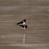 Oystercatchers (Haematopus ostralegus) Mating. This is an image of a pair of oystercatchers in the act of mating, with the male mounting the female. The birds Royalty Free Stock Photo