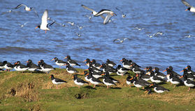 Oystercatchers haematopus ostralegus on shore Stock Image