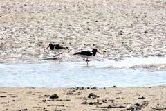 Oystercatchers (Haematopus ostralegus). Two oystercatchers (Haematopus ostralegus) searching for food Royalty Free Stock Photos