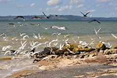 Oystercatchers and seagulls playing in waves. Bevy of Black oystercatchers playing in waves on Shelly beach during low tide, boat ramp in background New Zealand stock photo