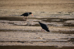 Oystercatchers searching for food Stock Photos