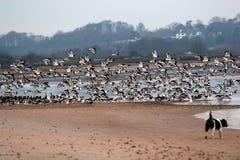 Oystercatchers take flight Stock Photos
