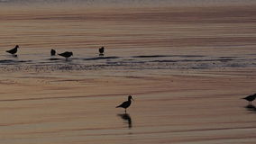 Oystercatchers Water Birds Silhouette stock footage