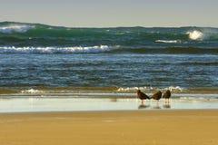 Oystercatches que presta atenção ao mar Fotografia de Stock