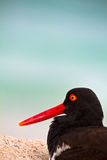 Oystercathcher shore bird in the Galapagos Islands Stock Photography