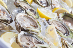 Oysters. Stock Image