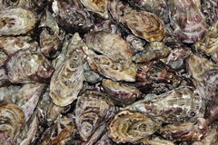 Oysters. A lot fresh oysters for sale Stock Photography