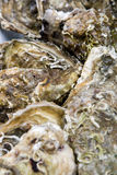 Oysters. A pile of Fine de Claire oysters Royalty Free Stock Photos