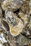 Oysters. A pile of Fine de Claire oysters Royalty Free Stock Photography