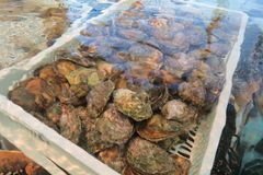 Oysters - Austern Royalty Free Stock Photos