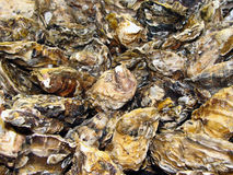 Oysters background Royalty Free Stock Photos