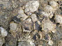 Oysters and barnacles close up on beach rocks at low tide Royalty Free Stock Photos