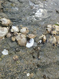 Oysters and barnacles close up on beach rocks at low tide Stock Photo